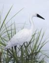 Flambeau Egret