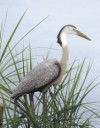 Flambeau Great Blue Heron